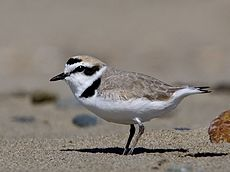 Kentish plover.jpg