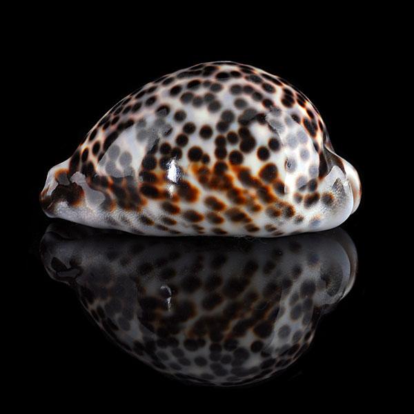 File:Cypraea tigris 600x600.jpg