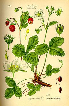 Illustration Fragaria vesca0.jpg