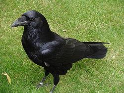 Corvus corax.001 - Tower of London.JPG