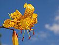 Lily Lilium 'Citronella' Flower 2578px.jpg