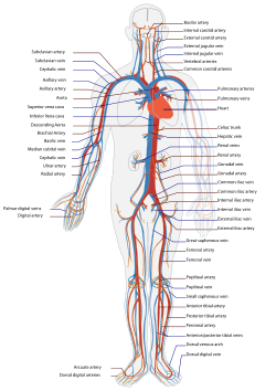 Circulatory System en.svg